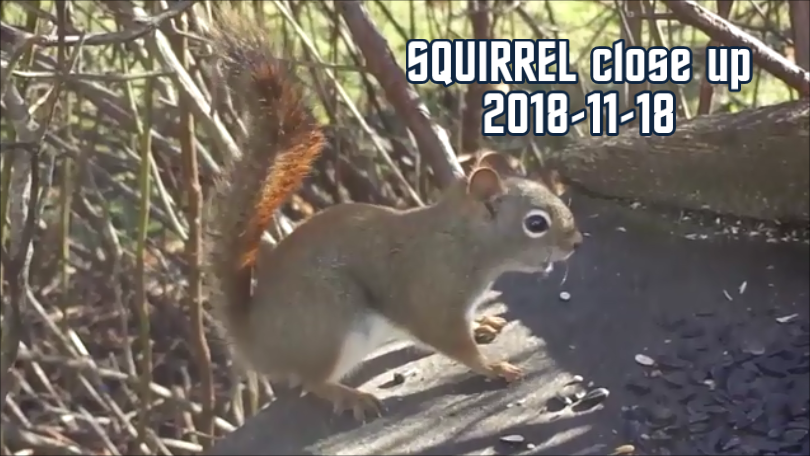 SQUIRREL close up 2018-11-18 title-0001.png